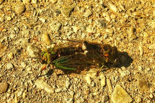Cicadasex
